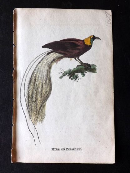 Holloway 1803 Hand Col Bird Print. Bird of Paradise